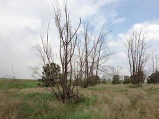 אקליפטוס בוואדי 1 5.1.2013